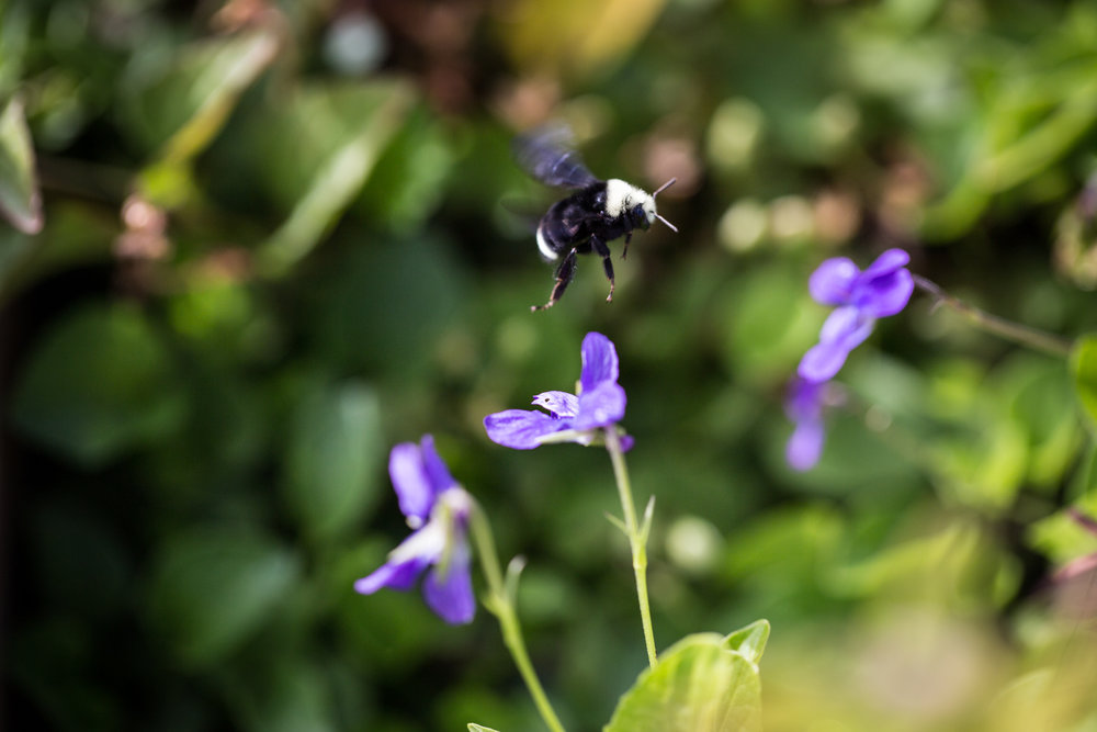 One of several bumblebees thriving among the 29 violet beds at Washington Corrections Center.
