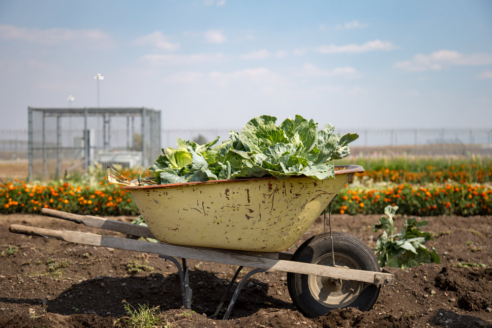 "A full wheelbarrow of produce harvested by incarcerated individuals. The produce goes directly to the prison's kitchen.  ""100,000 ft2 of gardens grew nearly 80,000 lbs of produce in 2015"" ²"