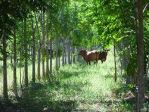 Photo- cattle enjoy the shade and feed under African Mahogany trees.