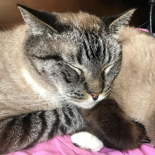 Sleeping kitties warm my heart 😻 💤 #catsofinstagram #catagram #catlady #siamese #sleepingcat #so cute