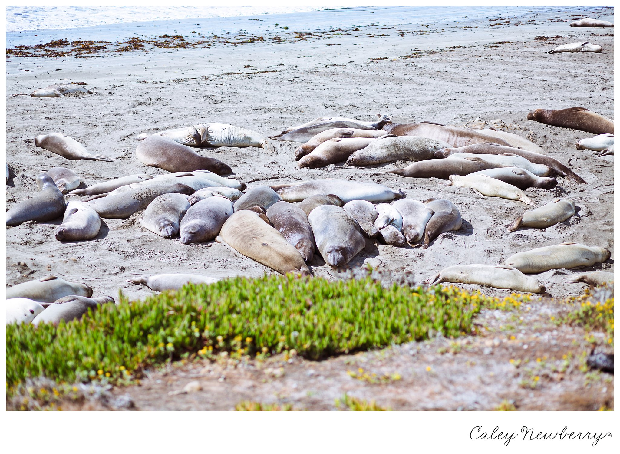 elephant-seals-pacific-coast-highway.jpg