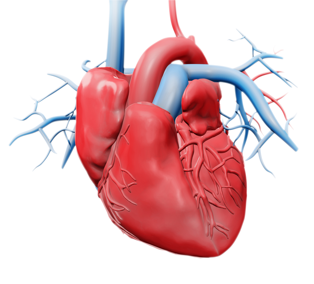 Heart anatomy shutterstock_200105063.jpg