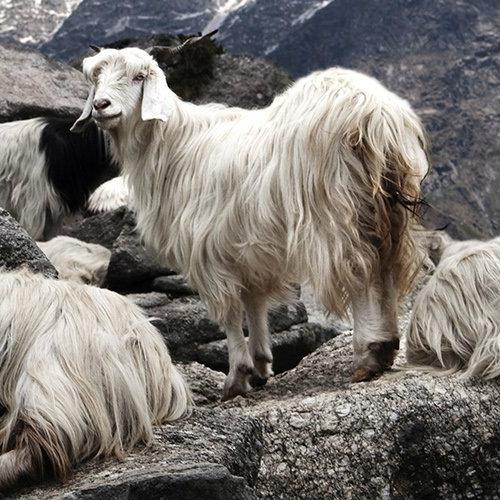nepal sheep.jpg