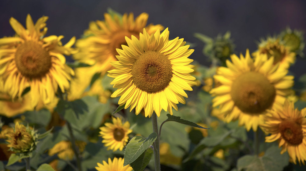 Sunflower-Field%2521-1.jpg