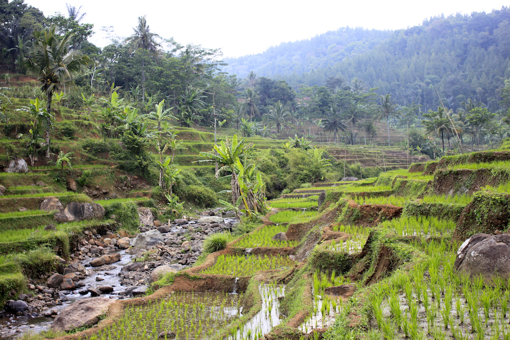 Rice terraces in rural Cianjur, Java.