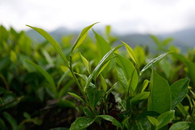 Tea plants growing in Munnar, south India