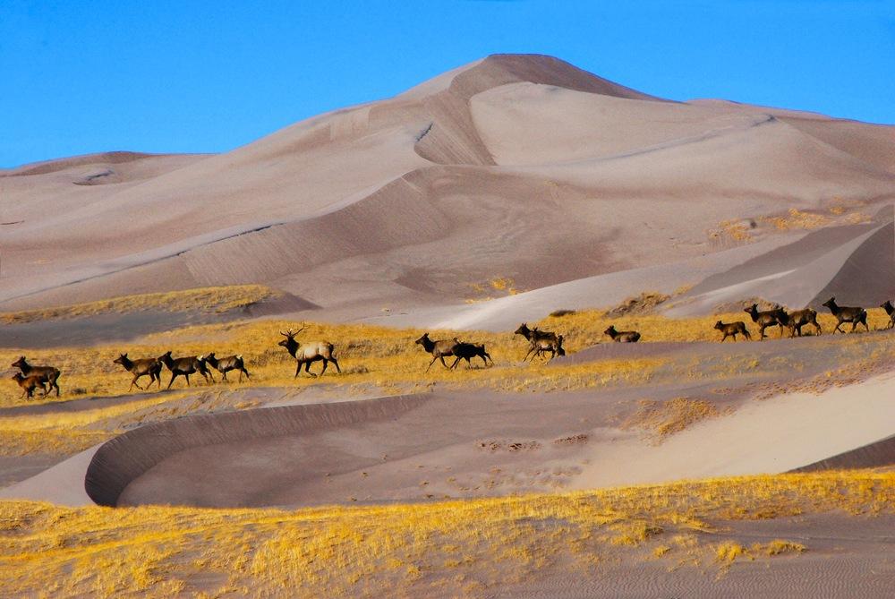 Elk Meander Across Great Sand Dunes National Park - NPS Photo