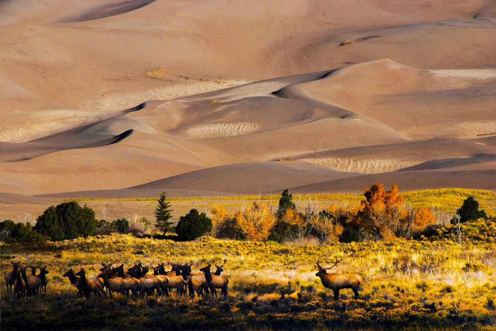Elk Herd At The Base Of The Dunes