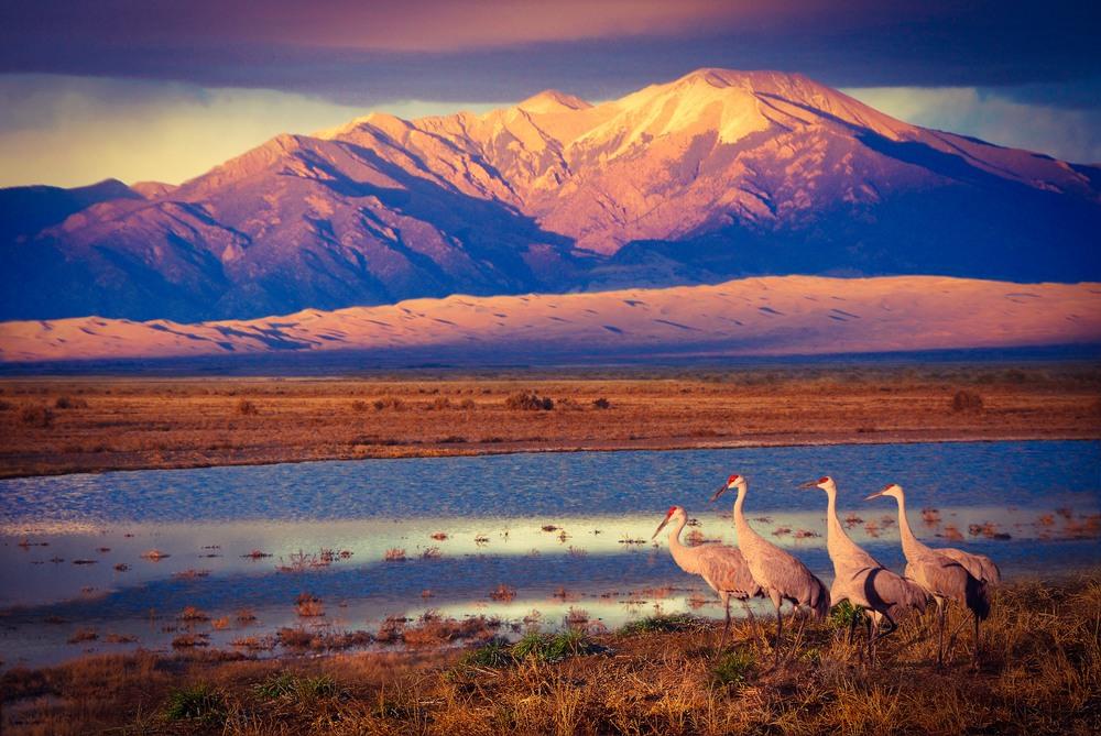 Sandhill Cranes Near Wetlands At Sunset