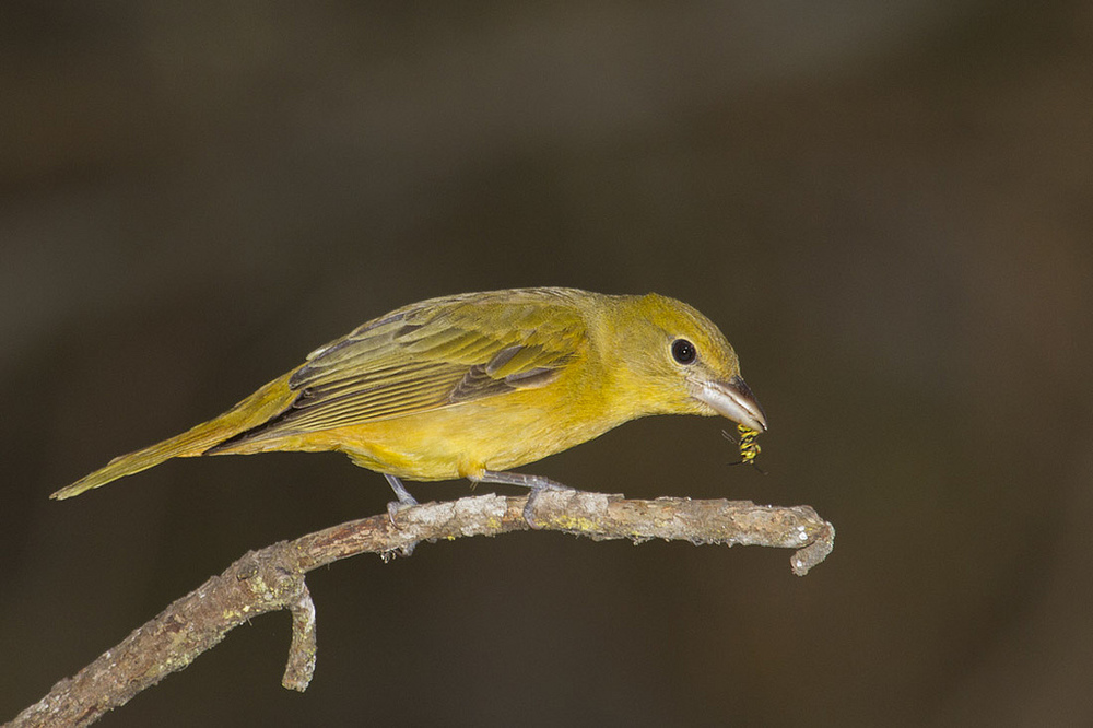 Summer Tanager Female With Yellow Jacket - Photo By: ©  Marlin Harms