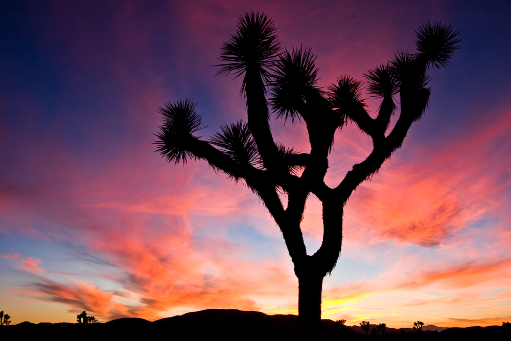 Silhouetted Joshua Tree At Sunset
