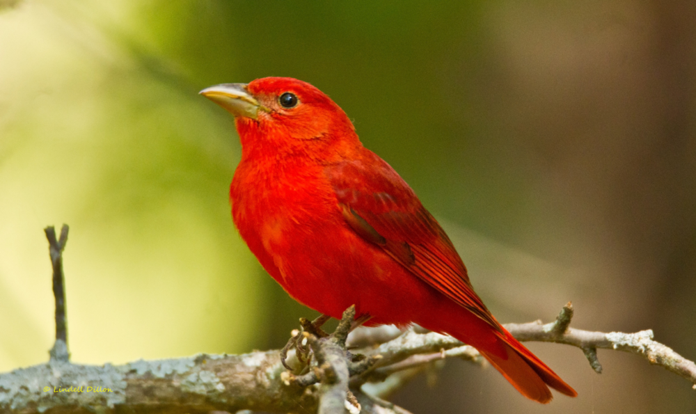 Male Summer Tanager - Photo By: © Lindell Dillon