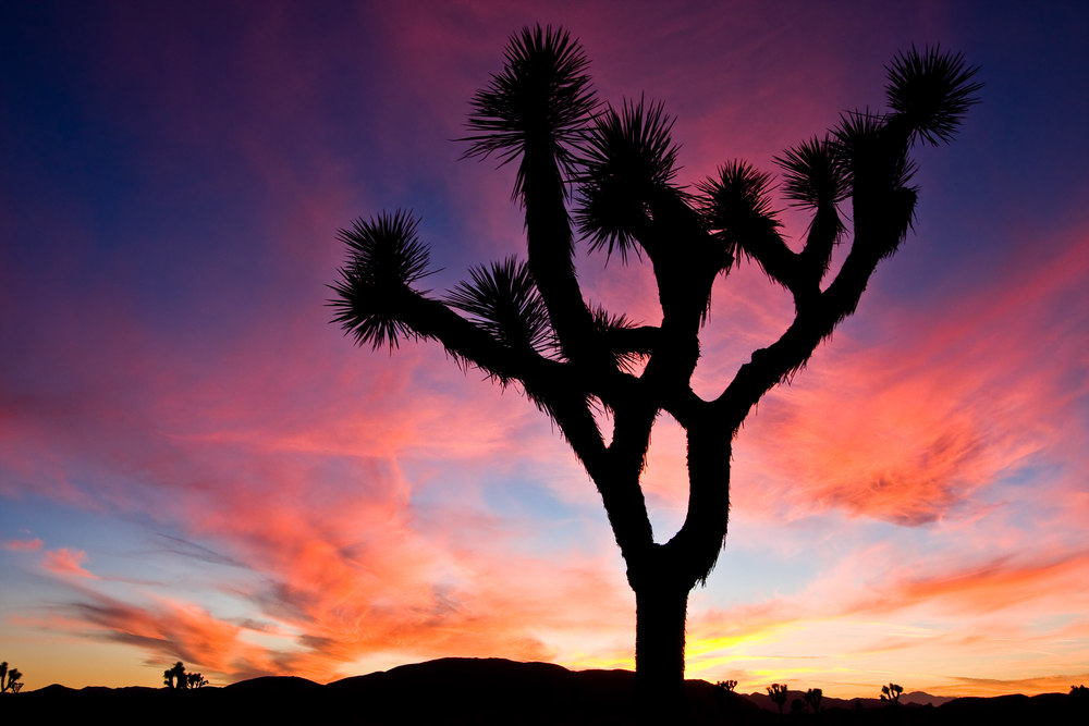 Silhouetted Joshua Tree At Sunset (Photo: Aneta Waberska/Shutterstock)