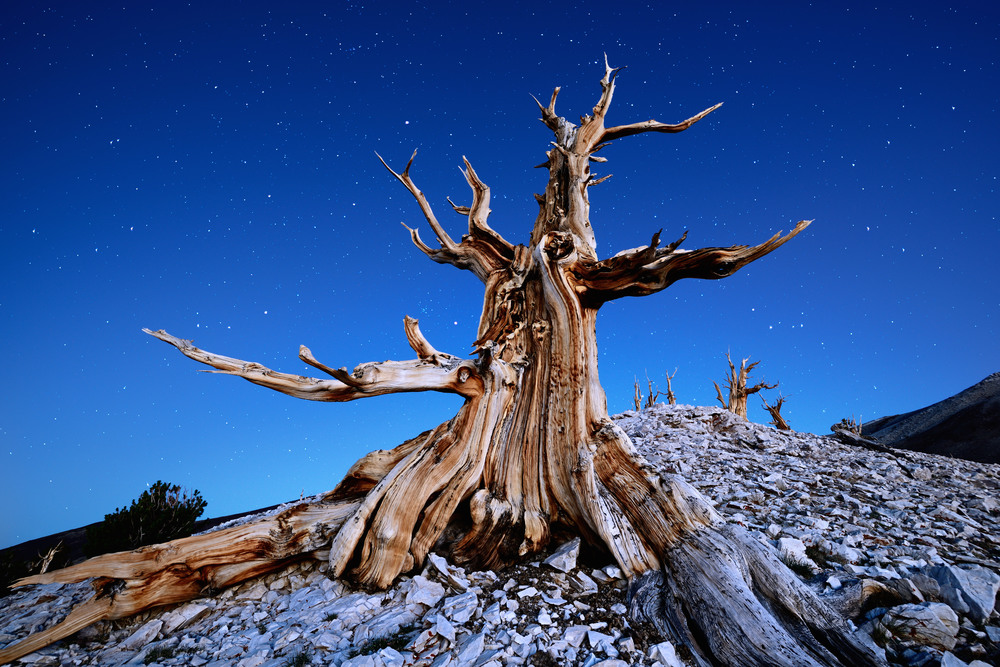A Bristlecone Pine Under Starry Skies – (PHOTO: Tomas Tichy/SHUTTERSTOCK)
