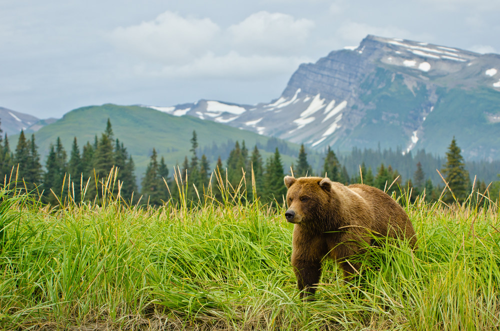 A Coastal Brown Bear In Lake Clark National Park & Preserve – (PHOTO: DAVIDRASMUS/SHUTTERSTOCK)