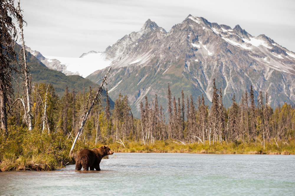 A Coastal Brown Bear Hunting For Fish – (PHOTO: JIMDAVID/SHUTTERSTOCK)