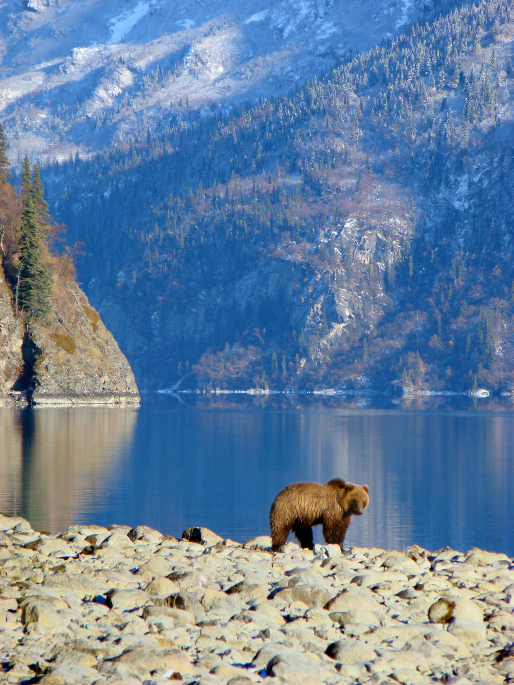 An Inland Brown Bear Prowls The Shores Of Little Lake Clark In Search Of Salmon. – (PHOTO: NPS/ W. HILL)