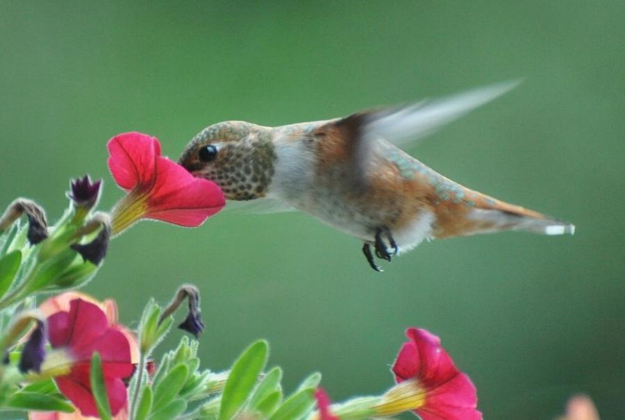 """""""Rufous Hummingbird,"""" by Jim Culp CC BY-NC-ND 2.0"""