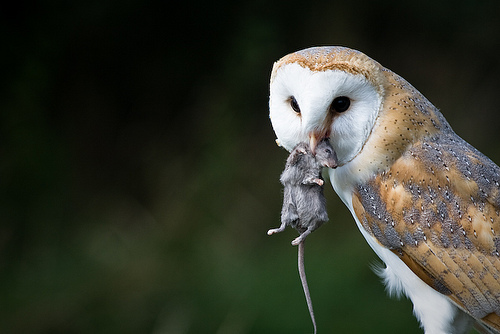 Did you know that approximately 95% of all bobcats, mountains lions and coyotes in Los Angeles test positive for rat poison?   Introducing the Barn Owl Nesting Box Program. Barn owls are nature's alternative to poison. Just one barn owl can consume up to 3,000 rodents a year. Interested in hosting a nesting box? Click here.
