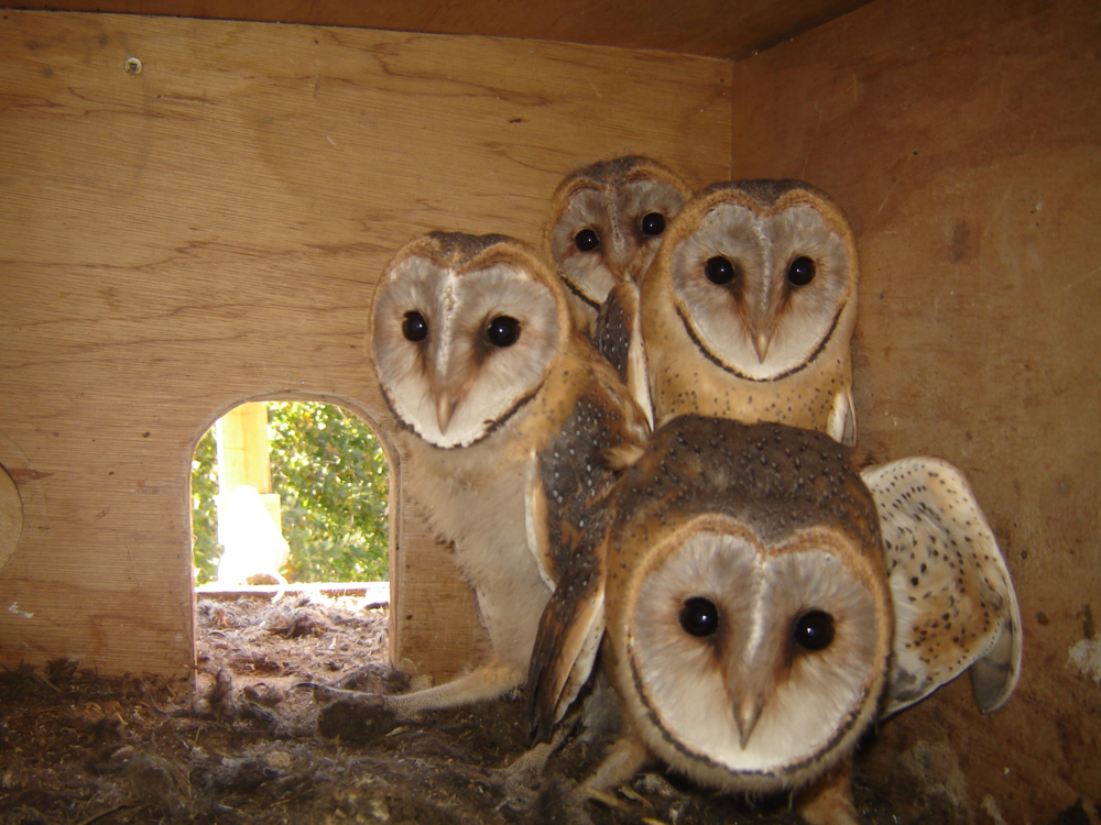 Barn Owl Nesting Project