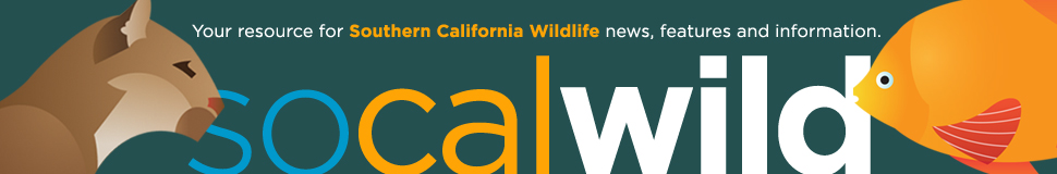 CLAW successfully gets LA City Council and Dept of Parks & Rec to stop using super toxic rat poison in more than 16,000 acres of parks and wilderness areas.