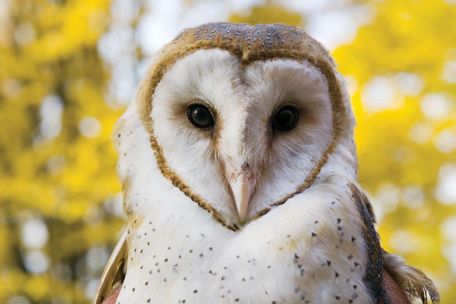 barn owls - photo #13