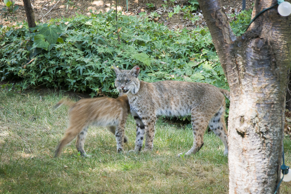 SSwihart bobcats.jpg