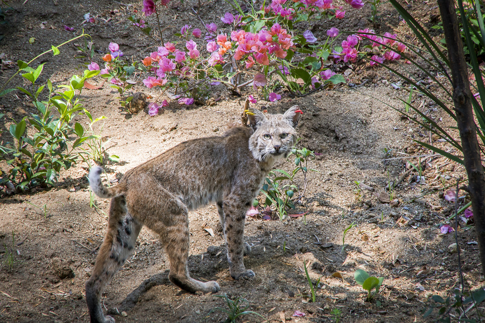 SSwihart single bobcat.jpg