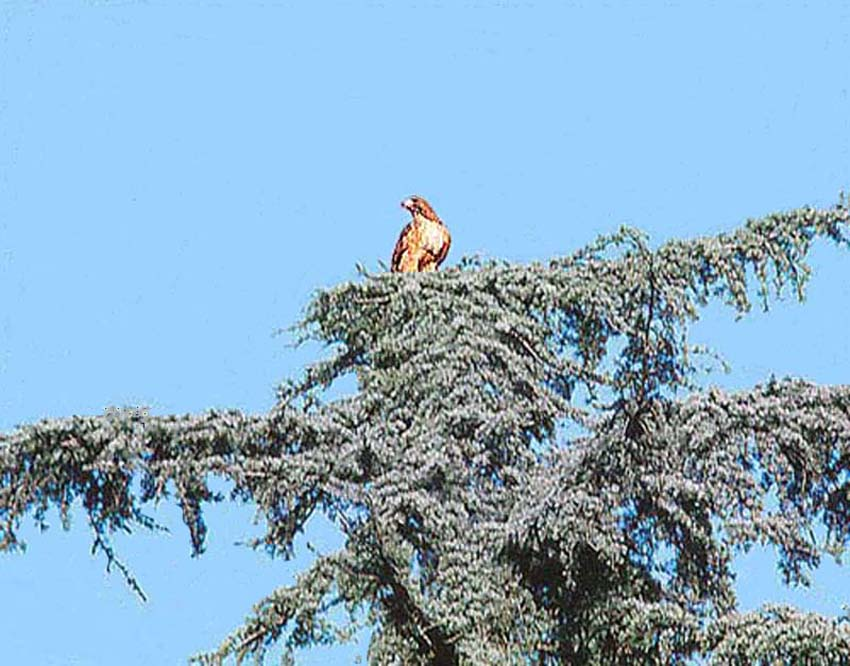Hawk in tall pine tree .jpg