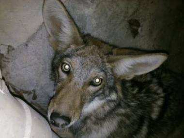 Tanya coyote understairs.jpg