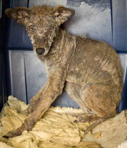 """Rosie"" the coyote was rescued in Laurel Canyon and treated for rodenticide-induced mange and secondary infections."