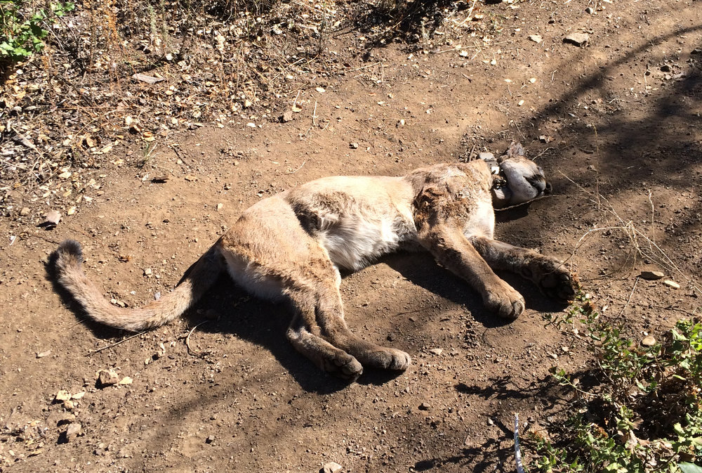 """P-34"" mountain lion died in Malibu from internal bleeding. A necropsy found that she had been exposed to five different poison compounds."