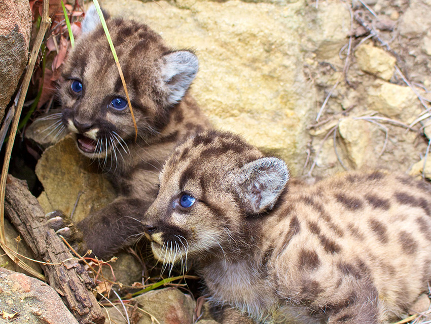 Mountain lion siblings P-59 and P-60 may face health issues as a result of generations of inbreeding. Their father is also their grandfather, great-grand father, and great-great-grandfather.