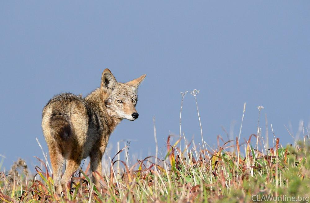 coyote-5.jpg