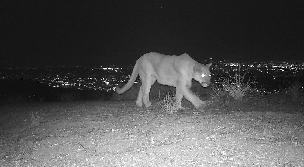 Uncollared Mountain Lion in the Eastern Santa Monica Mountains, captured on one of CLAW's Nature Cams.