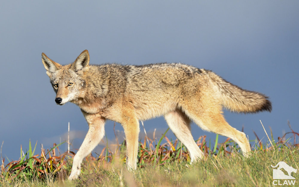 coyote-with-logo-2.jpg