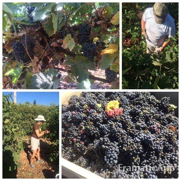 Early Morning Grape harvest