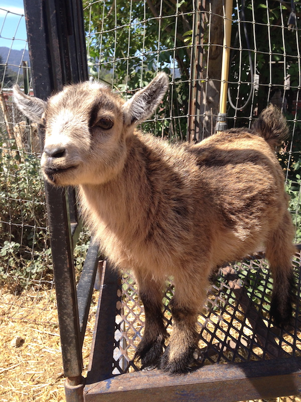 pygmiegoat