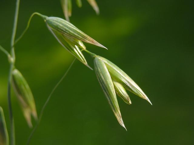 Ohio Herb.jpg