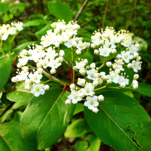 One of Ohio's most beautiful understory shrubs. Black Haw ( Viburnum prunifolium,  Adoxaceae). Used in herbal medicine for cramping and spasm of female reproductive organs, pelvin pain, and gastrointestinal, arterial, and muscle tension associated with heightened levels of stress and anxiety.