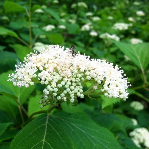 Wild hydrangea ( Hydrangea aborescens,  Hydrangeaceae) has long been used as a soothing diuretic and tonic to the mucous membranes of the urinary system. Used by herbalists of modern day in support of benign prostate hypertrophy.