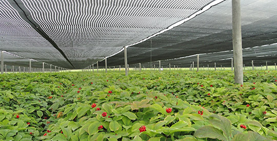 Example of intensive agricultural cultivation of American Ginseng where fungicide application is a necesasry evil. Wisconsin, USA. Source: Wisconsin Ginseng and Herb Co-op