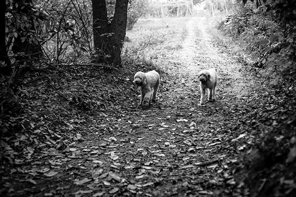 """Cães na """"caça"""" à trufa"""