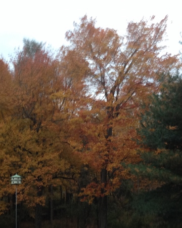 Part of the golden autumn view from my window and the porch - the martin house is in the foreground and beyond the trees a few yards, the lovely Porter Brook, where raccoon, possum, and albino skunk, coyote,  beautiful families of deer and  great blue heron come to water and stroll!     A great motivation for an animal lover to work out the bugs  - literally.