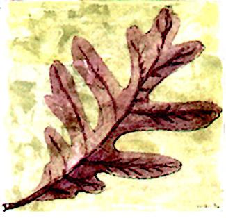 Charter Oak Leaf