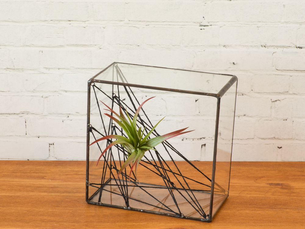 Square Air Plant Cat's Cradle $78.00