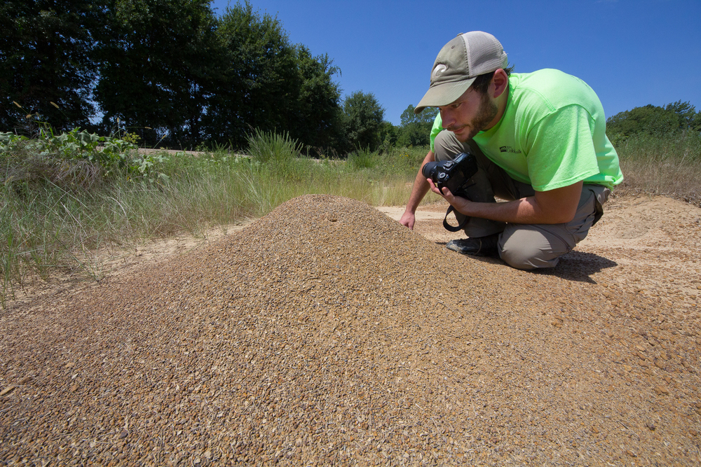 Ben showed me a sizable mound of the Harvester Ant species  Pogonomyrmex barbatus.  These large seed harvesters measure between 8 and 10mm in length and  have a notoriously painful   sting . We found this mound and one other at the edge of a soybean field.