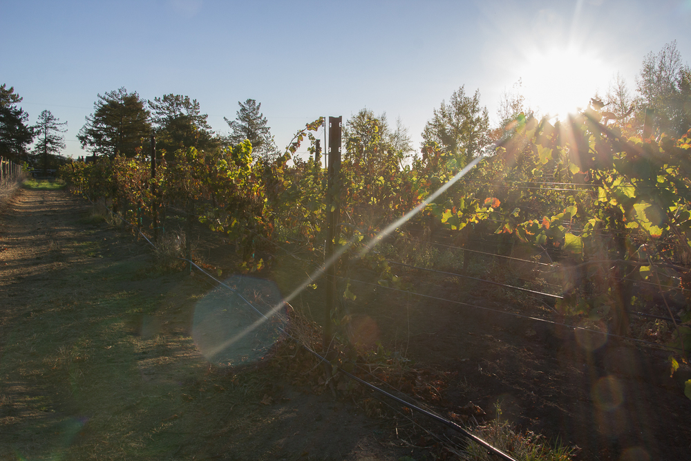vineyard_sunrise.jpg