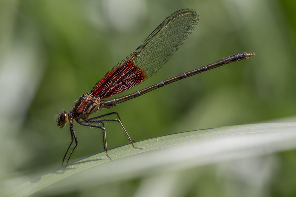 american rubyspot for web.jpg
