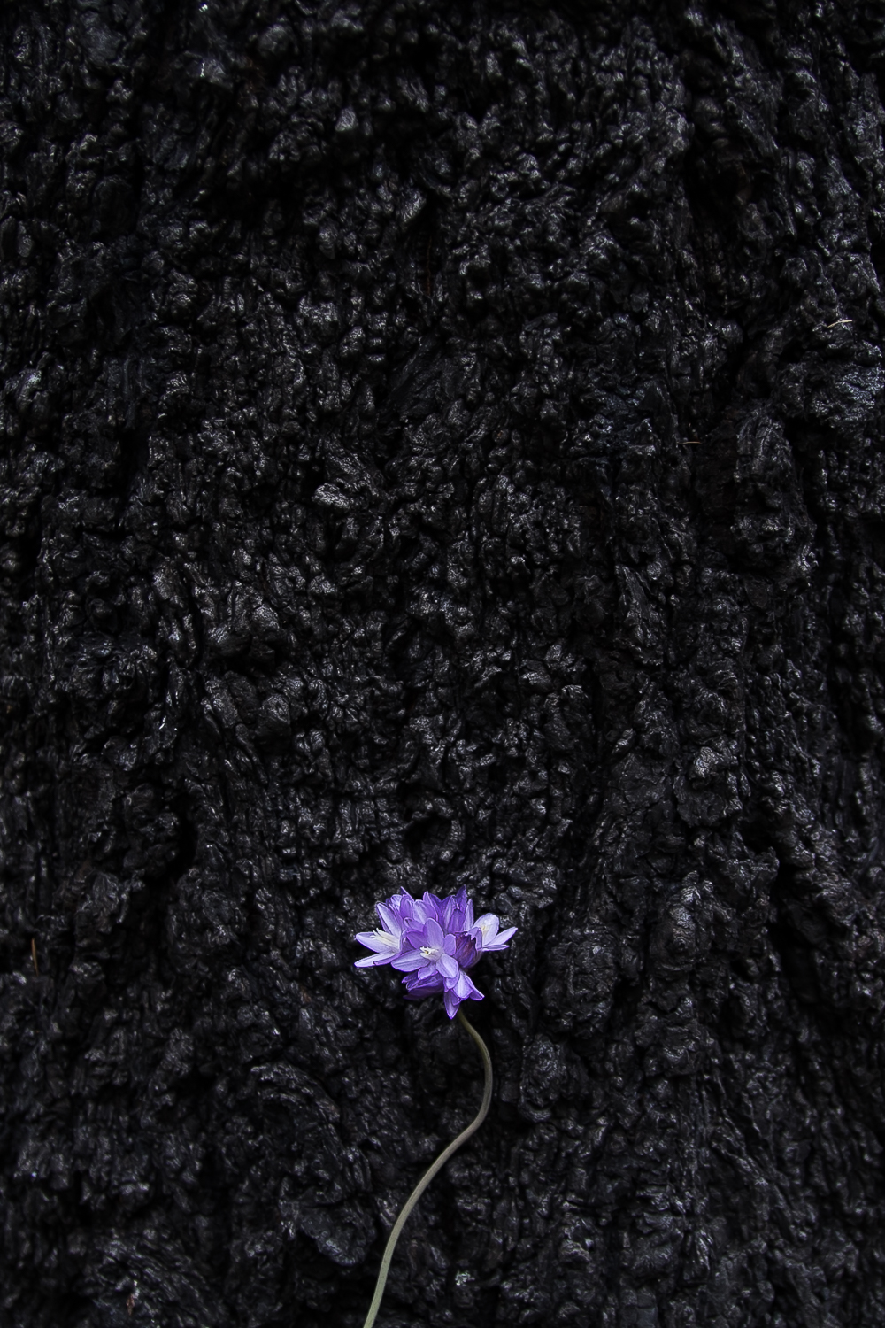 Blue Dicks ( Dichelostemma capitatum ) contrasted against a burnt tree trunk.